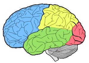 brain-1007686